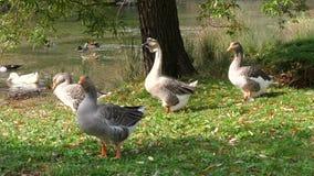 Patos na natureza pelo lago vídeos de arquivo