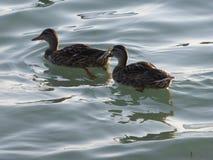 Patos na praia Imagens de Stock