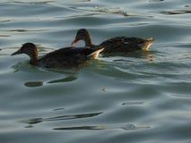 Patos na praia Fotografia de Stock