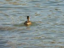 Patos na praia Imagem de Stock Royalty Free