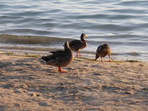Patos na praia Foto de Stock Royalty Free