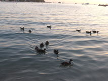 Patos na praia Foto de Stock