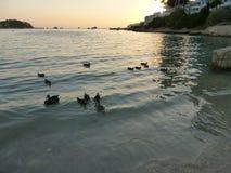 Patos na praia Fotografia de Stock Royalty Free