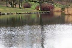 Patos no banco de um lago em Dinamarca Fotografia de Stock Royalty Free