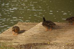 "Patos no Bassin de la Muette - o †""França de Elancourt Foto de Stock Royalty Free"
