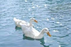 Patos no lago Imagem de Stock