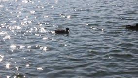 Patos no lago video estoque