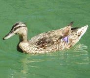 Patos no lago Fotografia de Stock