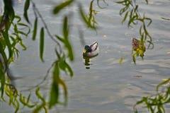 Patos no lago em outubro fotografia de stock