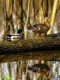 Patos no log Fotos de Stock
