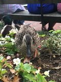 Patos no parque Imagens de Stock