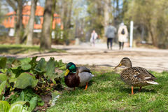 Patos no parque Foto de Stock