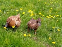 Patos no prado Imagens de Stock Royalty Free