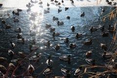Patos no rio congelado gelo Fotos de Stock Royalty Free