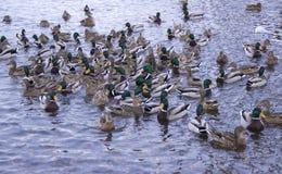 Patos no rio foto de stock
