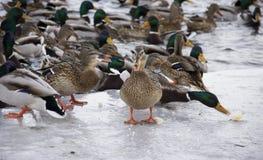 Patos no rio fotografia de stock