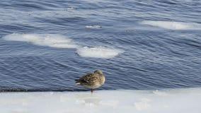 Patos no tempo gelado da água in fine imagem de stock