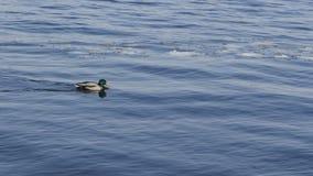 Patos no tempo gelado da água in fine fotografia de stock