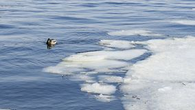 Patos no tempo gelado da água in fine fotos de stock