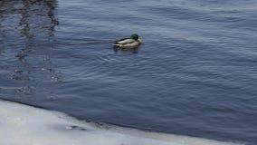 Patos no tempo gelado da água in fine fotografia de stock royalty free