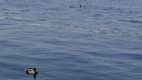 Patos no tempo gelado da água in fine foto de stock royalty free