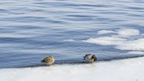 Patos no tempo gelado da água in fine fotos de stock royalty free