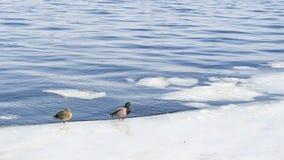 Patos no tempo gelado da água in fine imagem de stock royalty free