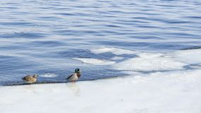 Patos no tempo gelado da água in fine foto de stock