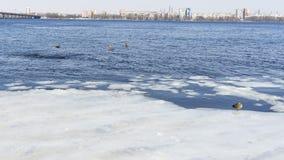 Patos no tempo gelado da água in fine imagens de stock royalty free