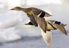 Patos no vôo Fotografia de Stock Royalty Free