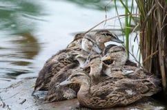 Patos novos Fotos de Stock Royalty Free