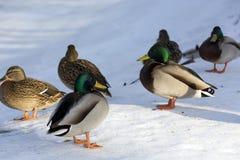 Patos, pájaros, hembras y varones en la nieve, la orilla del franco Fotografía de archivo