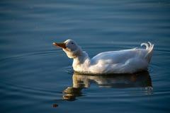 Patos, pato blancos pesados de Pekin del americano también conocidos como pato de Aylesbury que sacude su cabeza y plumas foto de archivo