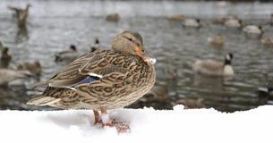 Patos pela água na lagoa Fotos de Stock