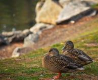 Patos pela lagoa fotos de stock royalty free