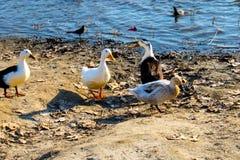 Patos pela margem Imagem de Stock Royalty Free