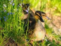 Patos pequenos Fotografia de Stock