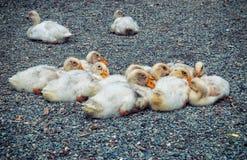 Patos pequenos Fotos de Stock