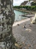 Patos perto da árvore torcida contra o céu perto do lago fotos de stock royalty free