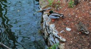 Patos por el río Fotografía de archivo libre de regalías