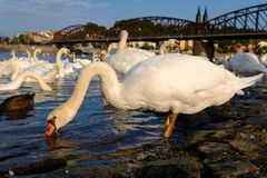 Patos por la orilla del río fotos de archivo