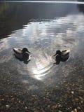 Patos preciosos Fotos de archivo