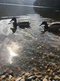 Patos preciosos Foto de archivo libre de regalías
