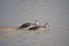 Patos pretos pacíficos Foto de Stock Royalty Free