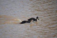 Patos pretos pacíficos Fotografia de Stock