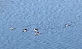 Patos Punto-cargados en cuenta en el lago Randarda, Rajkot, la India Foto de archivo