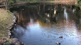 Patos que alimentam em uma lagoa filme