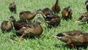 Patos que alimentam na grama verde Foto de Stock