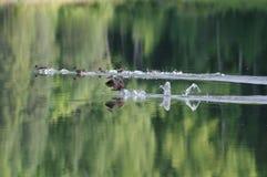 Patos que aterrizan en la charca Foto de archivo libre de regalías