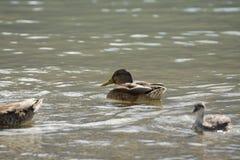 Patos que banham um verão quente no lago fotografia de stock